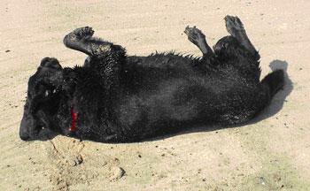 Mauli rolling in sand