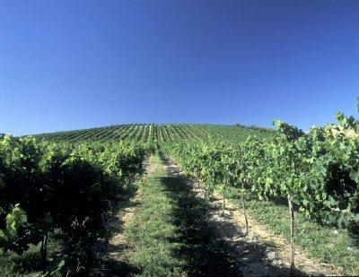 Blue sky above an Eastern Washington vineyard